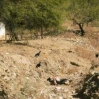 Vultures pick at the carcass of a dead cow in a dried up river bed, killed by lack of water. (Photo from the Pasorapa mayor's office)