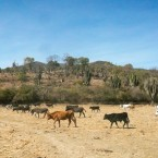 Cattle in search of water. (Photo from the Pasorapa mayor's office)