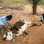 A cow being treated for dehydration due to lack of water. (Photo from the Pasorapa mayor's office)
