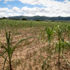 Cultivatred maize crops failing due to drought. (Photo by Leny Olivera)