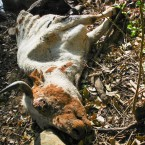 A cattle carcass, dead from hunger and thirst. (Photo from the Pasorapa mayor's office)